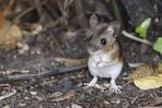 Gelbhalsmaus / Yellow Necked Mouse