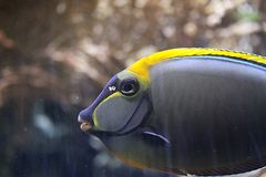 Gelbklingen Nasendoktorfisch