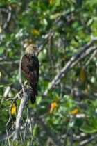 Gelbkopfkarakara (Milvago chimachima), Meeresnationalpark Marino Ballena, Costa Rica