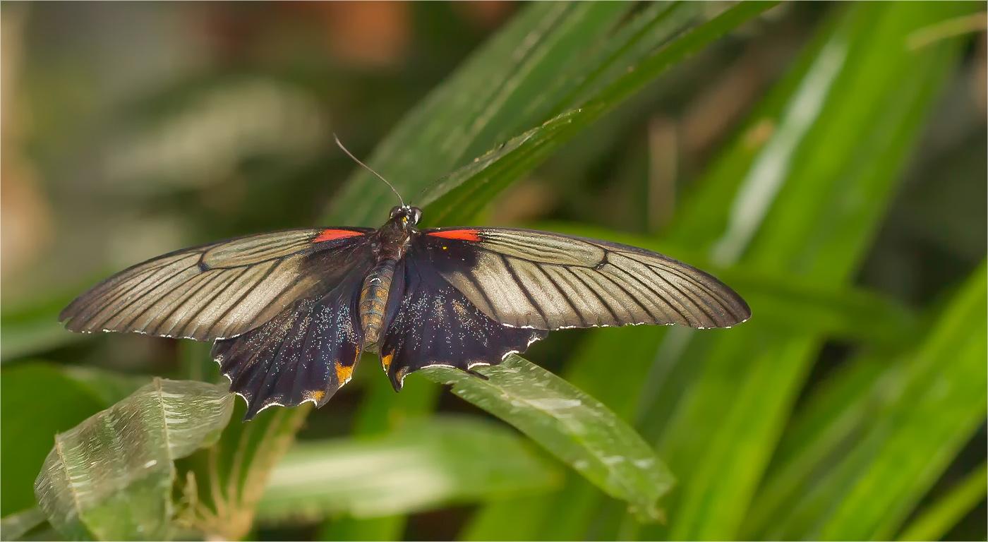 Gelbrand Schwalbenschwanz ( Papilio lowii )