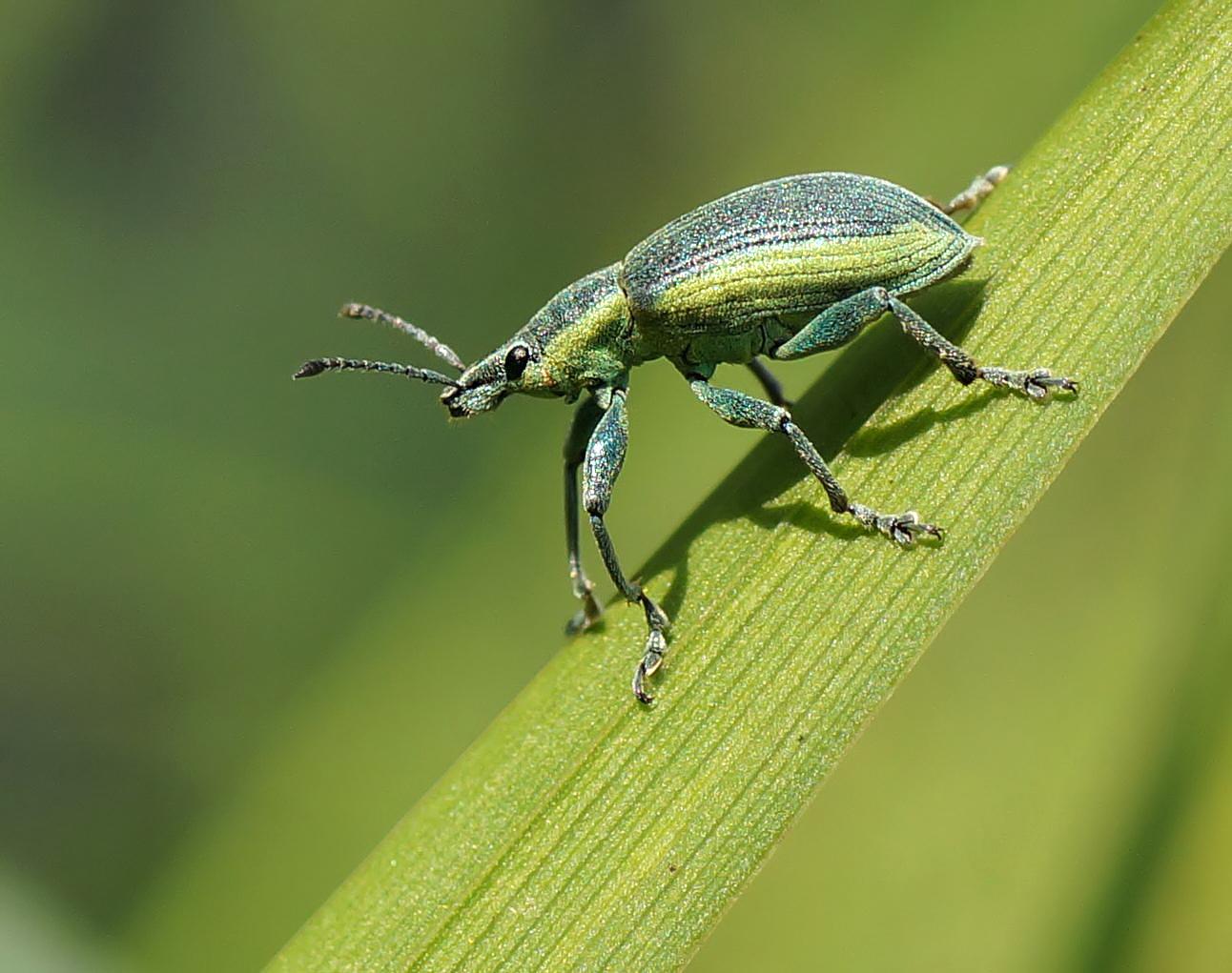 Gelbrandrüssler (Chlorophanus viridis)