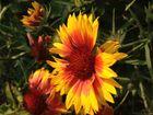 Gelbrote Blume