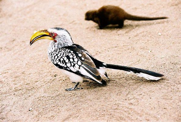 Gelbschnabeltoko im Krüger National Park / SA