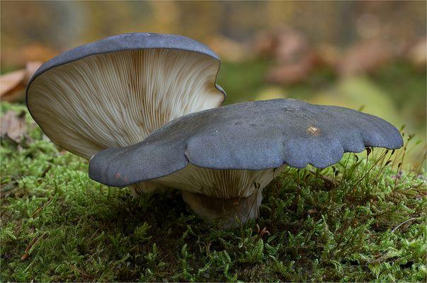 Gelbstieliger Muschelseitling (Panellus serotinus)