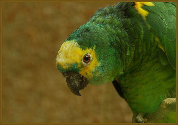 Gelbwangen-Amazone