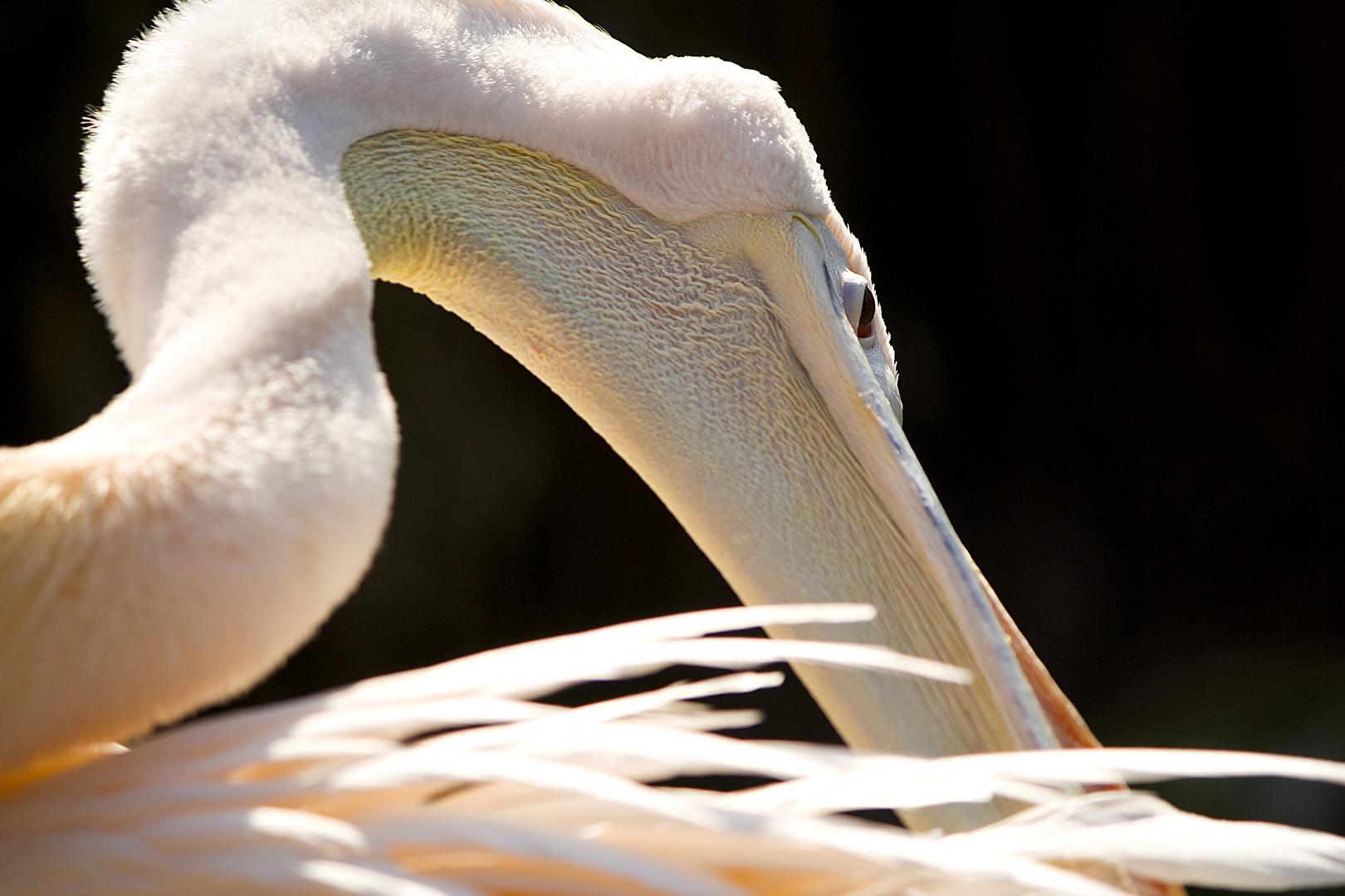 Gelenkigkeit der Pelikane