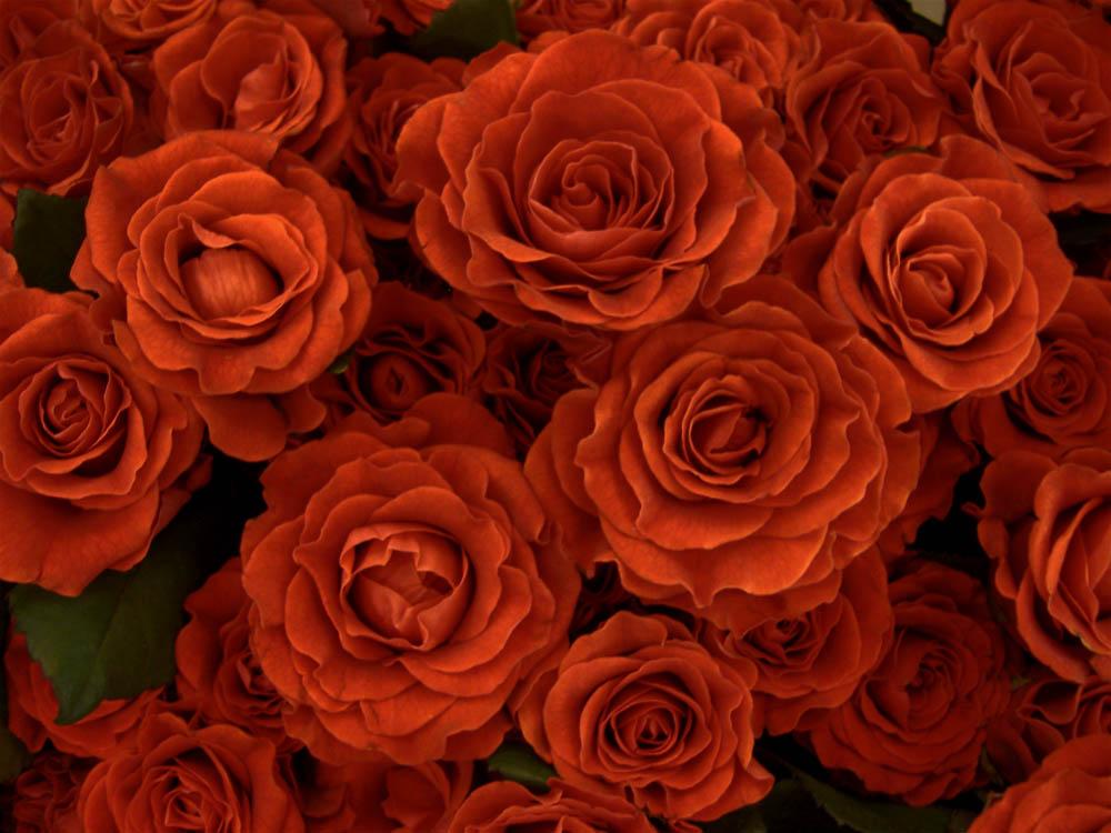 gemalte rosen foto bild pflanzen pilze flechten bl ten kleinpflanzen rosen bilder. Black Bedroom Furniture Sets. Home Design Ideas