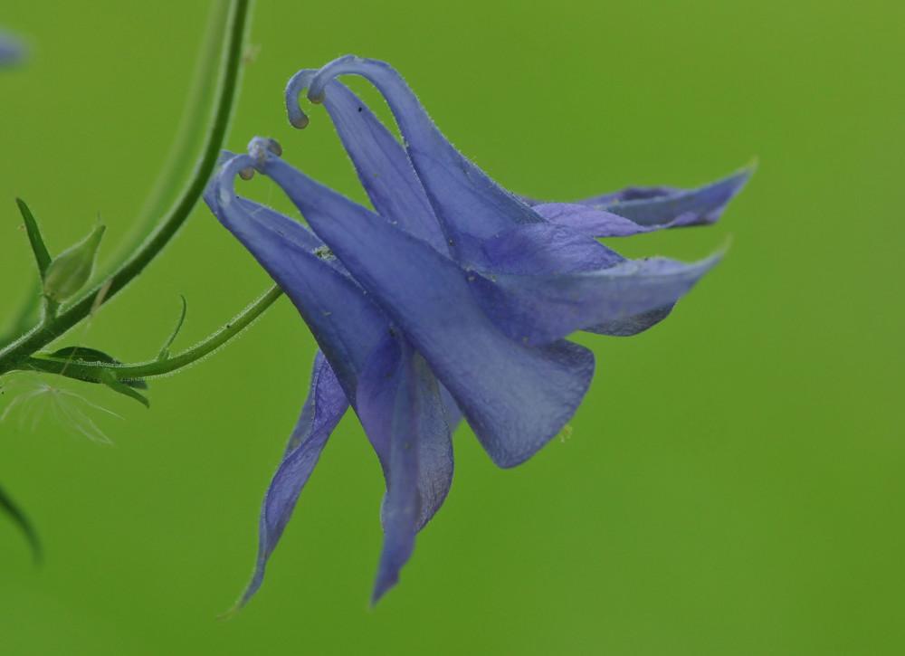 Gemeine Akelei (Aquilegia vulgaris) , Elfenhandschuh