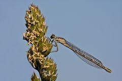Gemeine Becherjungfer (Enallagma cyathigerum), früher auch als Becher-Azurjungfer bezeichnet