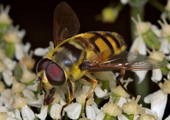 Gemeine Dolden-Schwebfliege, Myathropa florea, male