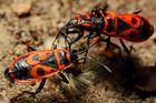 Gemeine Feuerwanze (Pyrrhocoris apterus) (IIII)