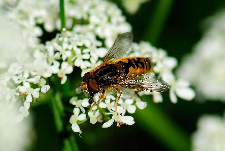 Gemeine Garten-Schwebfliege