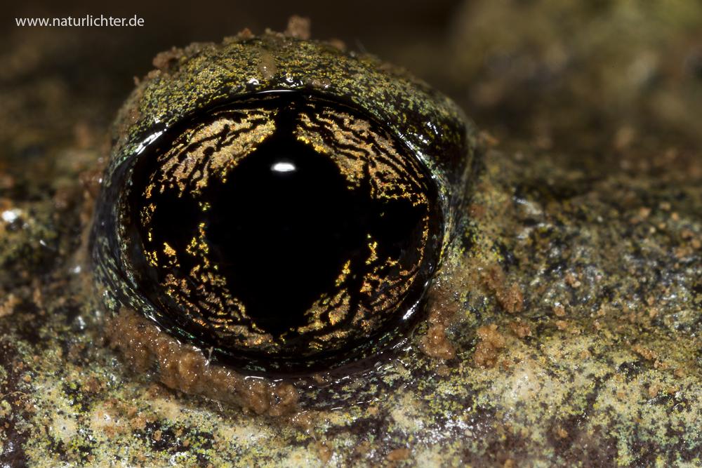 Gemeine Geburtshelferkröte, Auge