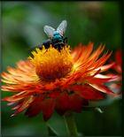 Gemeine grüne Fliege schlürft an meinen Blümchen ...
