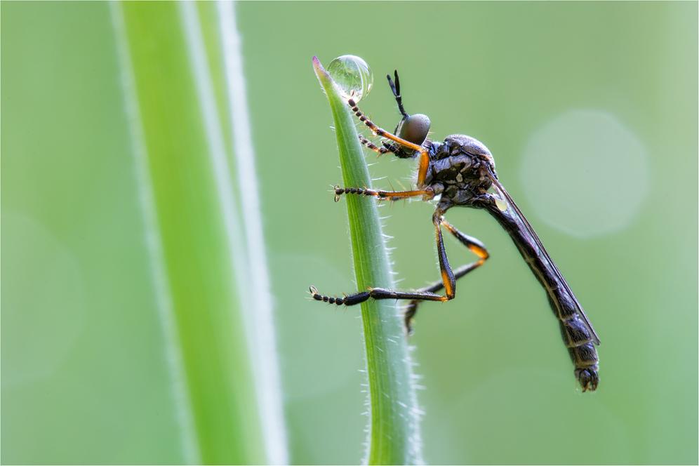 Gemeine Habichtsfliege (Dioctria hyalipennis)