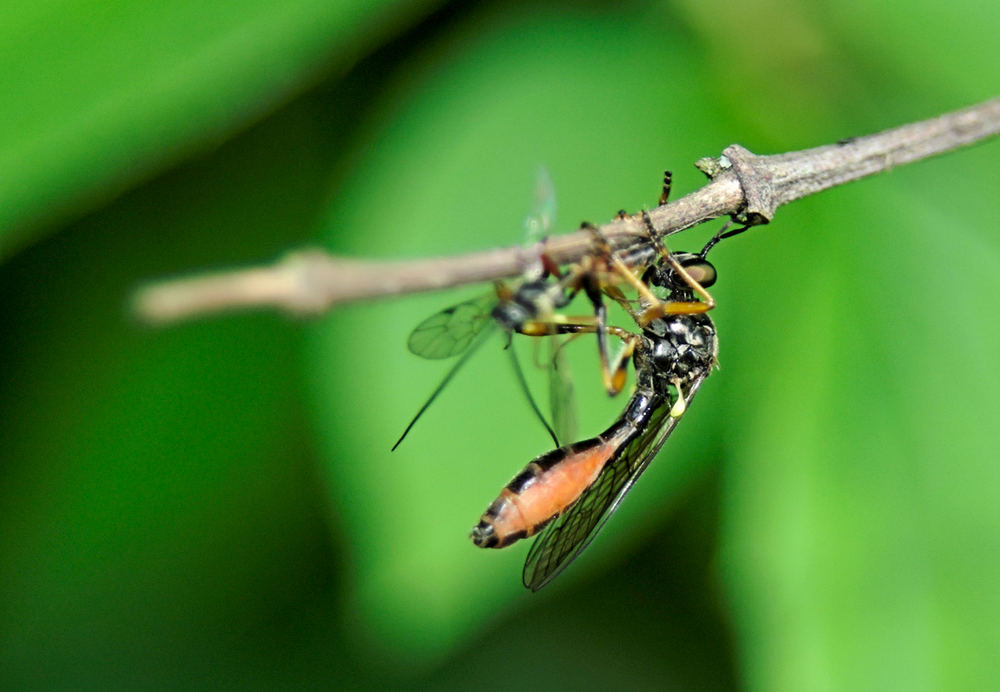 Gemeine Habichtsfliege-Dioctria hyalipennis-Weibchen.