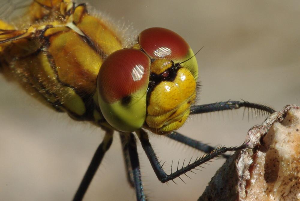 gemeine Heidelibelle-sehr neugierig !!!