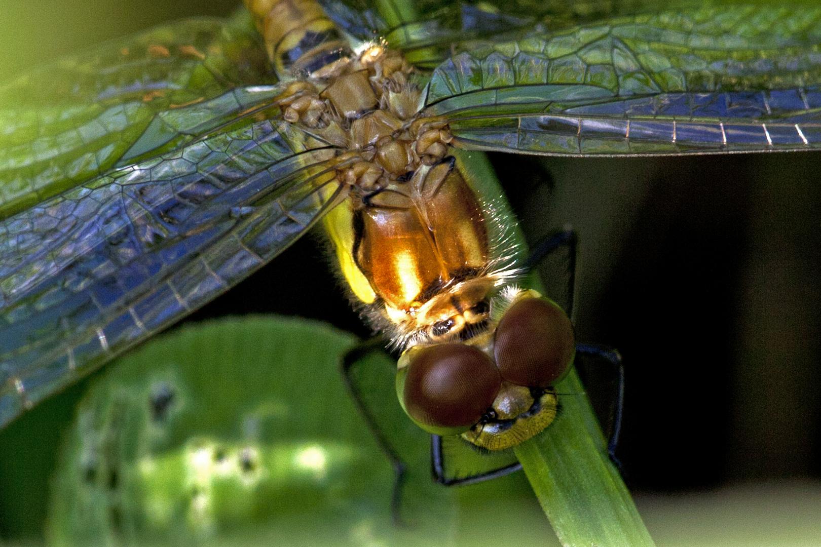 Gemeine Heidelibelle (Weibchen)