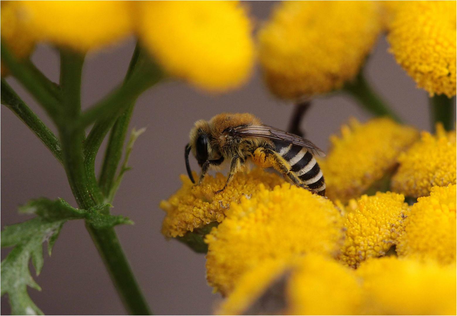 Gemeine Seidenbiene (Colletes daviesanus), Weibchen