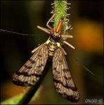 Gemeine Skorpionsfliege