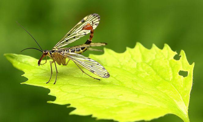Gemeine Skorpionsfliege (Panorpa communis