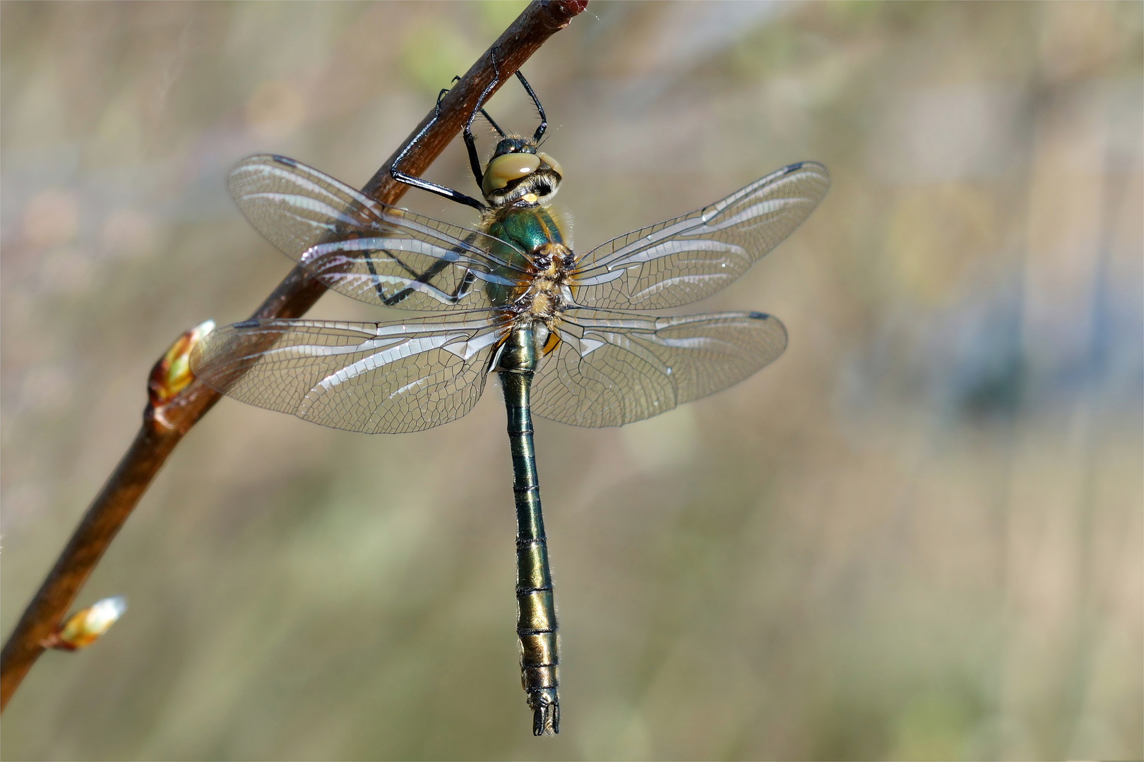 Gemeine Smaragdlibelle - Falkenlibelle -