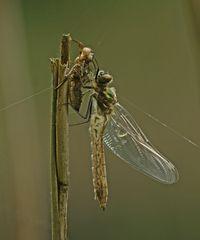 Gemeine Smaragdlibelle, Weibchen