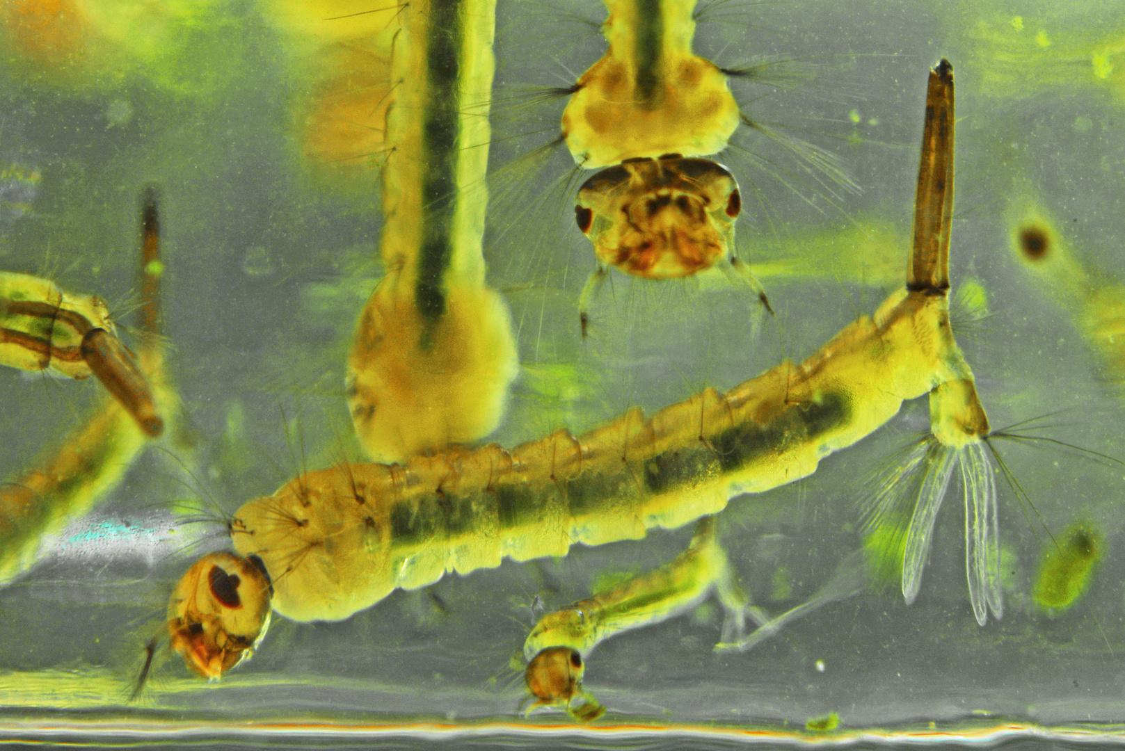 gemeine Stechmückenlarven
