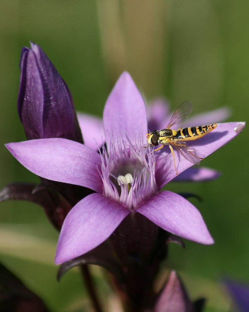 Gemeine Stiftschwebfliege (Weibchen)