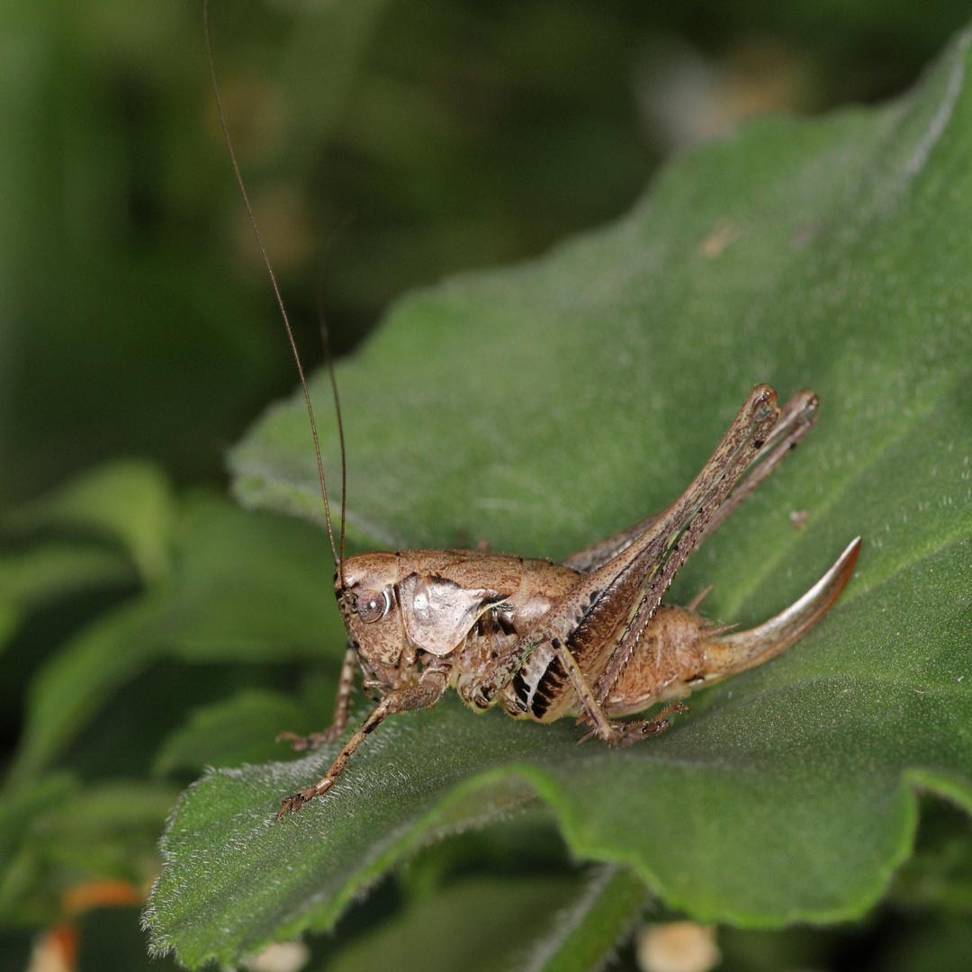 Gemeine Strauchschrecke (Pholidoptera griseoaptera)