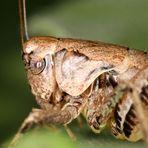 Gemeine Strauchschrecke (Pholidoptera griseoaptera) - Detail