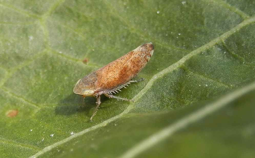 Gemeine Strauchzirpe (Fieberiella septentrionalis) ???