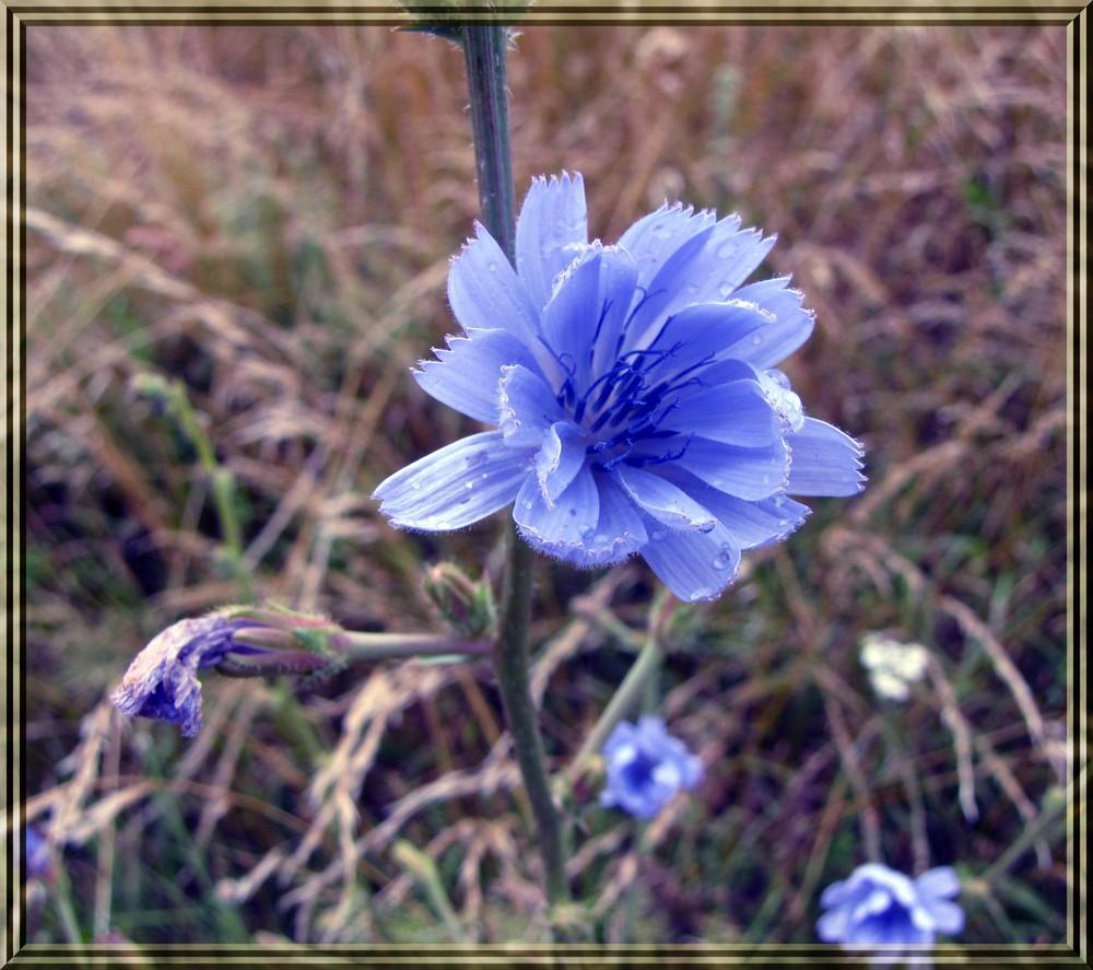 Gemeine Wegwarte - Blume des Jahres 2009