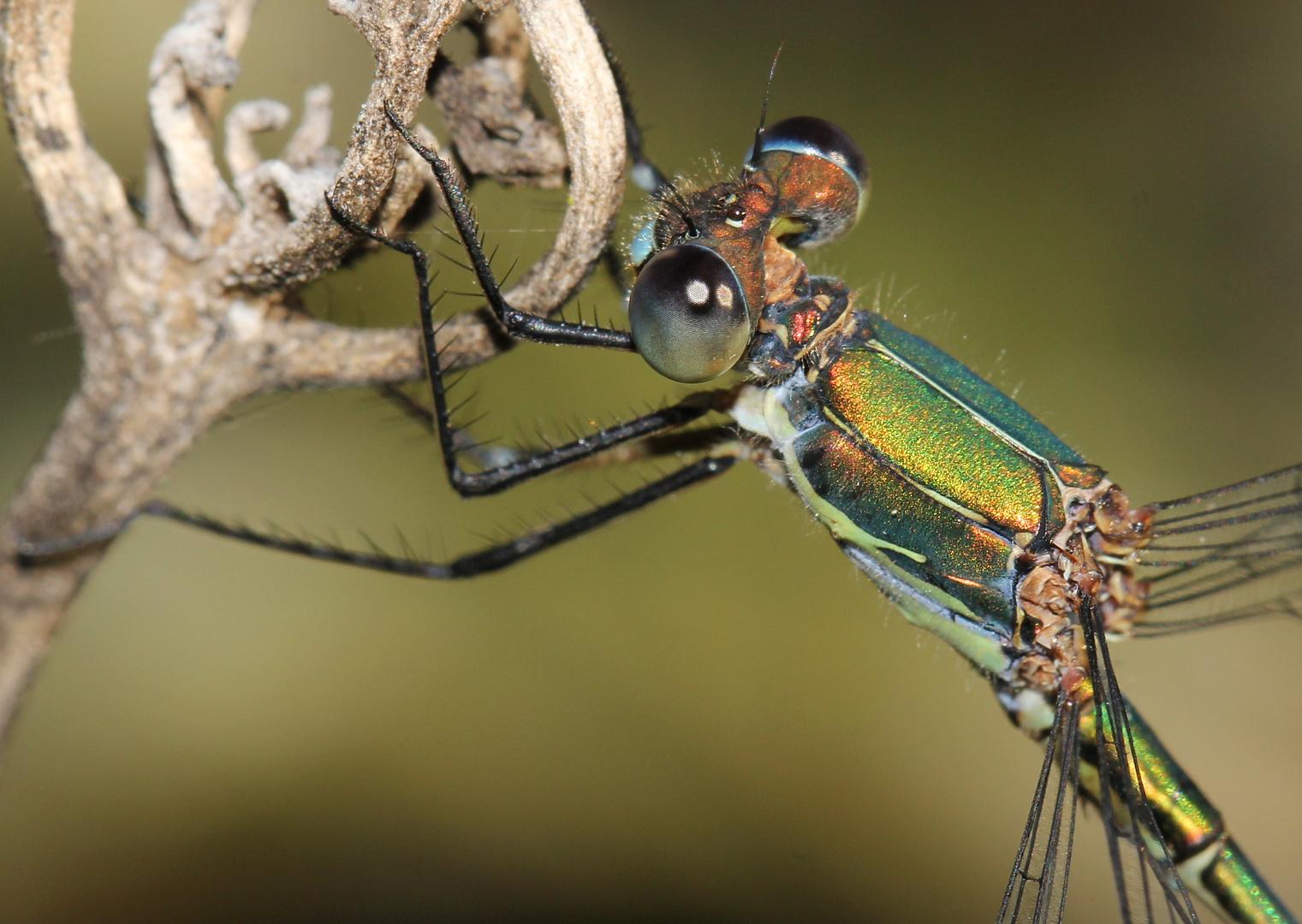 Gemeine Weidenjungfer (Lestes viridis)