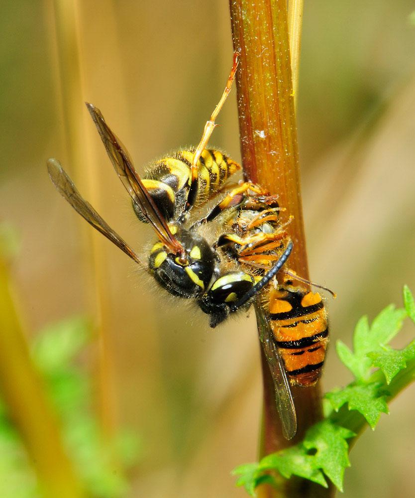 Gemeine Wespe (Vespula vulgaris) beim Zerlegen ihrer Schwebefliegen-Beute