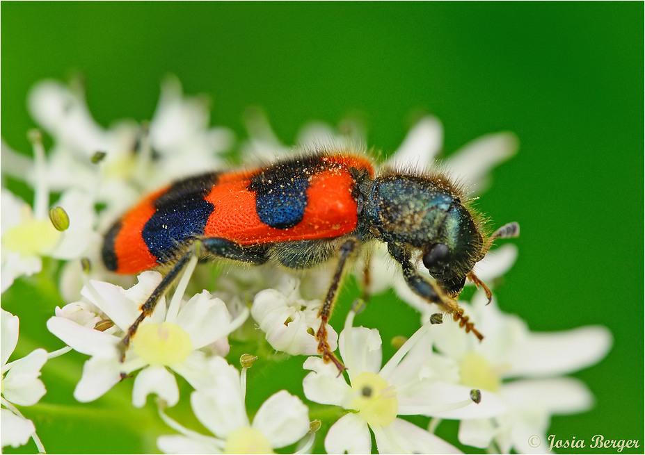 Gemeiner Bienenkäfer Trichodes apiarius