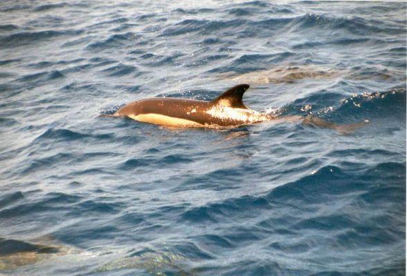 """Gemeiner Delphin"" (Delphinus delphis)"