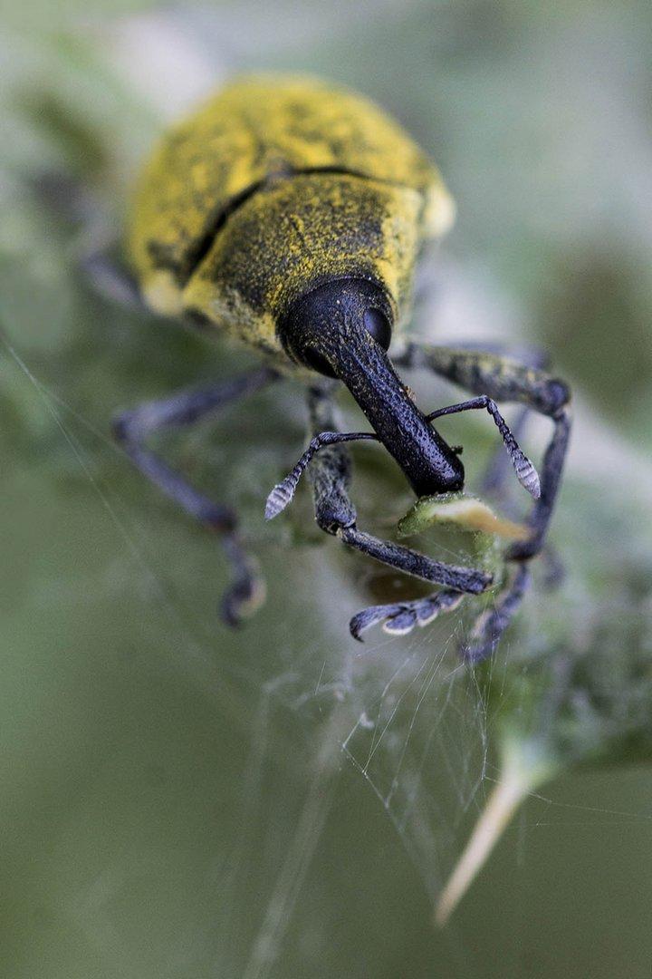 Gemeiner griechischer Nasenbären-Rüsselkäfer