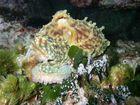 Gemeiner Krake (Octopus vulgaris)