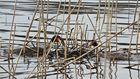 gemeinsamer Nestbau