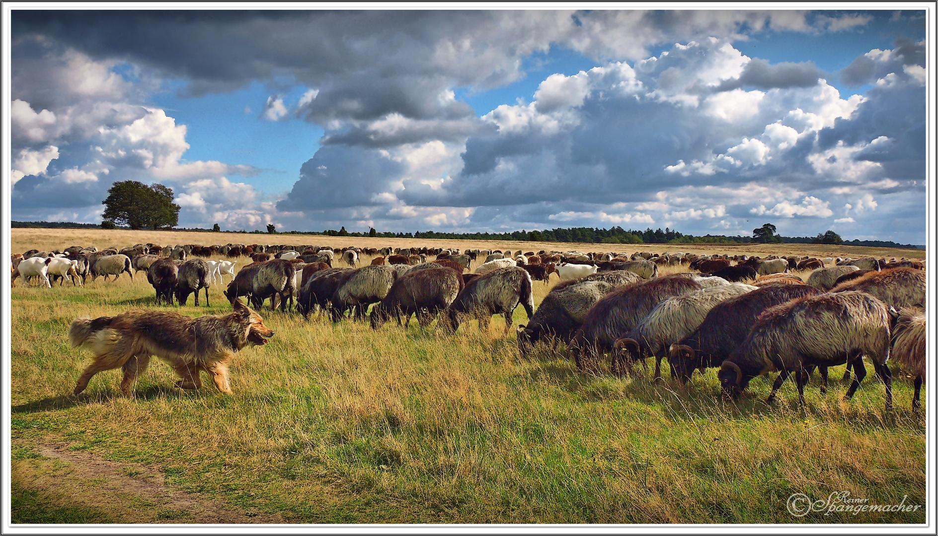 Gemischte Herde in der Lüneburger Heide