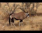 Gemsbock / Oryx