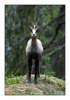 Gemse - Rupicapra rupicapra