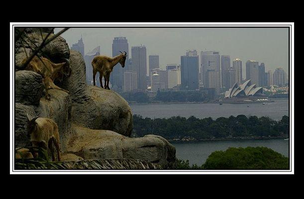 Gemsen über Sydney