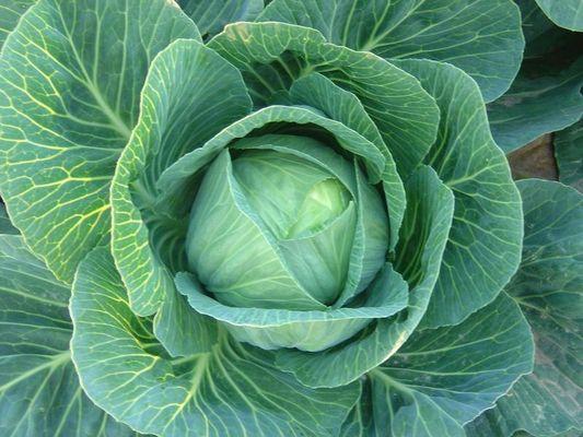 Gemüseblume