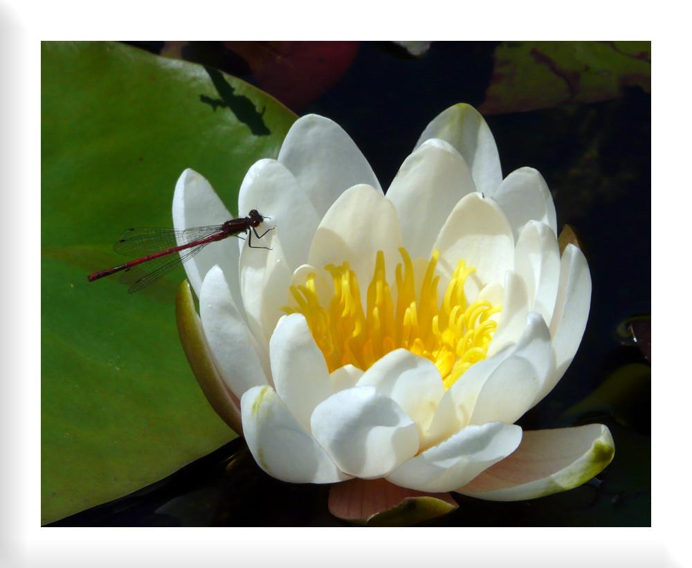 Gemütlicher Platz für eine Libelle