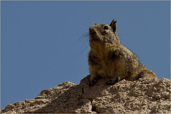 genau beobachtet hat dieses Erdhörnchen...
