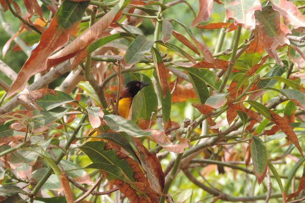 gendarme dans un manguier au Sénegal