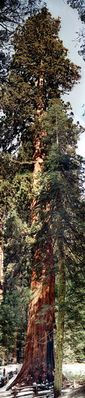 General Sherman - Der Größte Baum der Welt