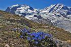 Gentiana brachyphylla vor dem Monte Rosa und mit dem Enzian ein Geburtstagsgruß für ...